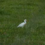airone guardabuoi 104 150x150 Airone guardabuoi   Bubulcus ibis
