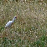 airone guardabuoi 121 150x150 Airone guardabuoi   Bubulcus ibis