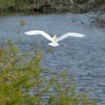 airone guardabuoi 124 150x150 Airone guardabuoi   Bubulcus ibis
