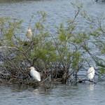 airone guardabuoi 125 150x150 Airone guardabuoi   Bubulcus ibis