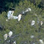airone guardabuoi 128 150x150 Airone guardabuoi   Bubulcus ibis