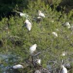 airone guardabuoi 129 150x150 Airone guardabuoi   Bubulcus ibis