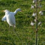 airone guardabuoi 43 150x150 Airone guardabuoi   Bubulcus ibis