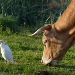 airone guardabuoi 44 150x150 Airone guardabuoi   Bubulcus ibis
