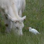 airone guardabuoi 45 150x150 Airone guardabuoi   Bubulcus ibis