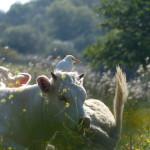airone guardabuoi 47 150x150 Airone guardabuoi   Bubulcus ibis