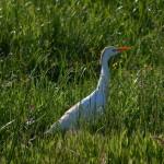 airone guardabuoi 49 150x150 Airone guardabuoi   Bubulcus ibis