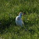 airone guardabuoi 50 150x150 Airone guardabuoi   Bubulcus ibis