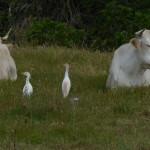 airone guardabuoi 53 150x150 Airone guardabuoi   Bubulcus ibis