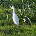 airone guardabuoi 55 150x150 Airone guardabuoi   Bubulcus ibis