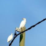 airone guardabuoi 56 150x150 Airone guardabuoi   Bubulcus ibis