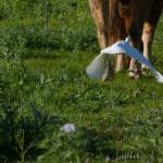 airone guardabuoi 57 150x150 Airone guardabuoi   Bubulcus ibis