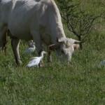 airone guardabuoi 63 150x150 Airone guardabuoi   Bubulcus ibis
