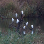 airone guardabuoi 651 150x150 Airone guardabuoi   Bubulcus ibis