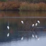 airone guardabuoi 661 150x150 Airone guardabuoi   Bubulcus ibis