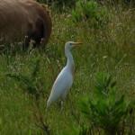 airone guardabuoi 68 150x150 Airone guardabuoi   Bubulcus ibis