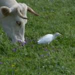 airone guardabuoi 70 150x150 Airone guardabuoi   Bubulcus ibis