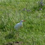 airone guardabuoi 71 150x150 Airone guardabuoi   Bubulcus ibis