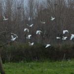 airone guardabuoi 72 150x150 Airone guardabuoi   Bubulcus ibis