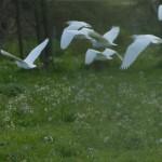 airone guardabuoi 73 150x150 Airone guardabuoi   Bubulcus ibis