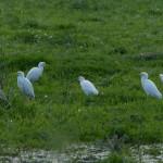 airone guardabuoi 74 150x150 Airone guardabuoi   Bubulcus ibis