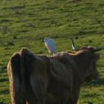 airone guardabuoi 75 150x150 Airone guardabuoi   Bubulcus ibis
