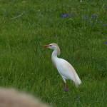 airone guardabuoi 76 150x150 Airone guardabuoi   Bubulcus ibis