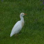 airone guardabuoi 77 150x150 Airone guardabuoi   Bubulcus ibis