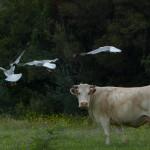 airone guardabuoi 79 150x150 Airone guardabuoi   Bubulcus ibis