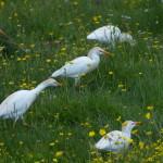 airone guardabuoi 80 150x150 Airone guardabuoi   Bubulcus ibis