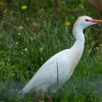 airone guardabuoi 81 150x150 Airone guardabuoi   Bubulcus ibis