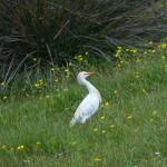 airone guardabuoi 84 150x150 Airone guardabuoi   Bubulcus ibis
