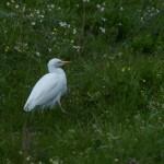 airone guardabuoi 86 150x150 Airone guardabuoi   Bubulcus ibis