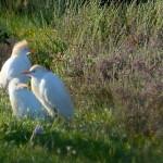 airone guardabuoi 88 150x150 Airone guardabuoi   Bubulcus ibis