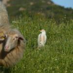 airone guardabuoi 89 150x150 Airone guardabuoi   Bubulcus ibis