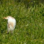 airone guardabuoi 90 150x150 Airone guardabuoi   Bubulcus ibis