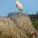 airone guardabuoi 91 150x150 Airone guardabuoi   Bubulcus ibis