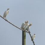 airone guardabuoi 94 150x150 Airone guardabuoi   Bubulcus ibis
