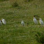 airone guardabuoi 99 150x150 Airone guardabuoi   Bubulcus ibis