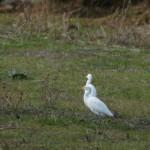 aironi guardabuoi 110 150x150 Airone guardabuoi   Bubulcus ibis