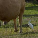 aironi guardabuoi 111 150x150 Airone guardabuoi   Bubulcus ibis