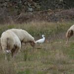 aironi guardabuoi 113 150x150 Airone guardabuoi   Bubulcus ibis