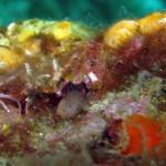 bavosa cornuta 66 150x150 Parablennius tentacularis   Bavosa cornuta