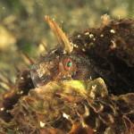 bavosa cornuta 72 150x150 Parablennius tentacularis   Bavosa cornuta