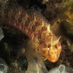 bavosa cornuta 77 150x150 Parablennius tentacularis   Bavosa cornuta