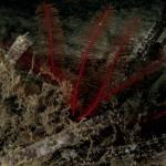 crinoide 1002 150x150 Antedon mediterranea   Crinoide