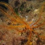 crinoide 110 150x150 Antedon mediterranea   Crinoide