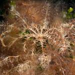 crinoide 120 150x150 Antedon mediterranea   Crinoide