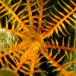 crinoide 72 150x150 Antedon mediterranea   Crinoide