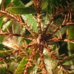 crinoide 75 150x150 Antedon mediterranea   Crinoide